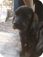 Labrador Retriever/Mastiff Mix Puppy for adoption in Santee, California - Bruno