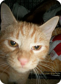 Domestic Shorthair Cat for adoption in Audubon, New Jersey - Riley
