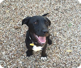 Labrador Retriever Mix Puppy for adoption in Austin, Texas - Meadow