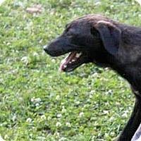 Adopt A Pet :: Glynnis - Naugatuck, CT