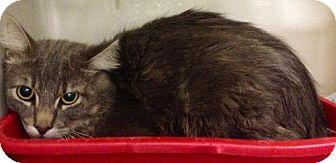 Domestic Shorthair Cat for adoption in Detroit Lakes, Minnesota - Sammy