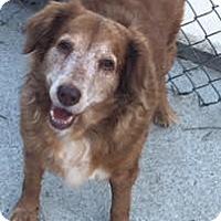 Adopt A Pet :: Lainey - Salem, NH