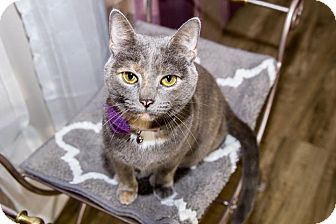 Domestic Shorthair Cat for adoption in Burlington, North Carolina - SPRINKLES