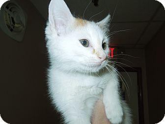 Domestic Shorthair Kitten for adoption in Medina, Ohio - GI Jane