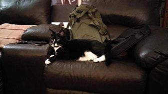 Domestic Shorthair Cat for adoption in Troy, Illinois - Socks Fostered (Michelle H)