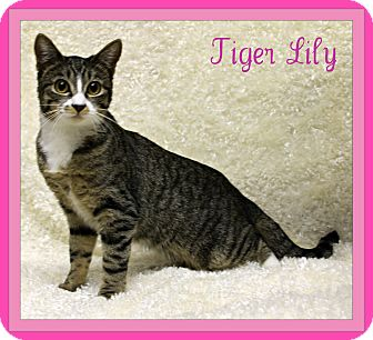 American Shorthair Kitten for adoption in Tracy, California - Tiger Lily