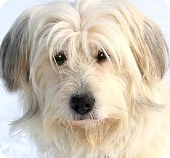 """Wheaten Terrier/Poodle (Miniature) Mix Dog for adoption in Wakefield, Rhode Island - MICK(ADORABLE """"SCRUFFY"""" PUP!!"""