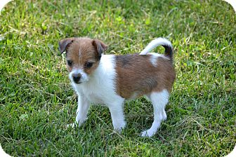 Chihuahua/Terrier (Unknown Type, Small) Mix Puppy for adoption in Pikeville, Maryland - Halley