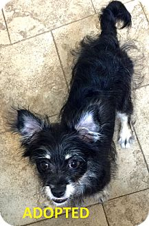 Schnauzer (Miniature)/Yorkie, Yorkshire Terrier Mix Puppy for adoption in Proctorville, Ohio, Ohio - Cole