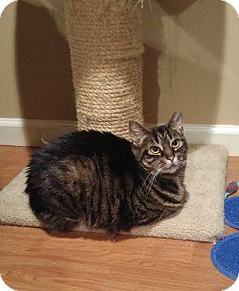 Domestic Shorthair Cat for adoption in Lenhartsville, Pennsylvania - Tigger