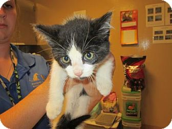 Domestic Mediumhair Kitten for adoption in Cumming, Georgia - Basil