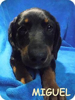 Australian Cattle Dog/Australian Shepherd Mix Dog for adoption in Batesville, Arkansas - Miguel