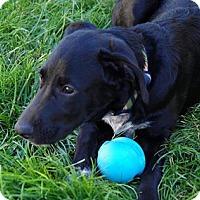 Adopt A Pet :: Bear - Meridian, ID