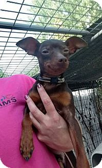 Miniature Pinscher Dog for adoption in Hanna City, Illinois - Chauncey