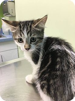 Domestic Shorthair Kitten for adoption in Chicago, Illinois - Georgia O'Kitten