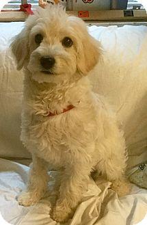 Lhasa Apso/Poodle (Miniature) Mix Puppy for adoption in Phoenix, Arizona - Snow White