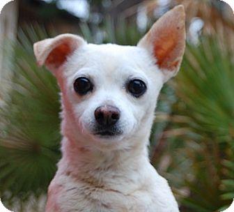 Chihuahua Mix Dog for adoption in Las Vegas, Nevada - Titan