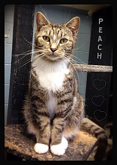 Domestic Shorthair Cat for adoption in Hartford City, Indiana - Peach