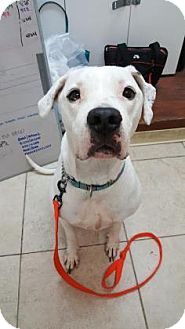Dogo Argentino Dog for adoption in Reisterstown, Maryland - Eva
