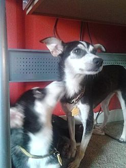 Rat Terrier Mix Dog for adoption in fayetville, North Carolina - Ginny