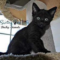 Adopt A Pet :: Ducky - Chandler, AZ