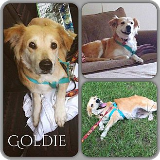 Golden Retriever Mix Dog for adoption in DeForest, Wisconsin - Goldie
