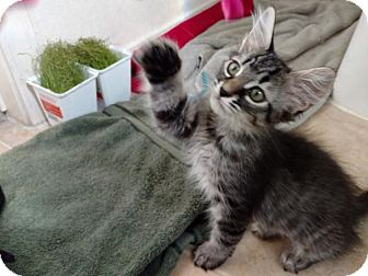 Domestic Mediumhair Kitten for adoption in Scottsdale, Arizona - LEENA