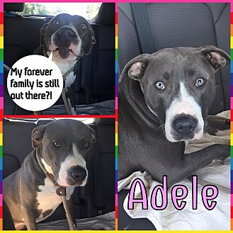 Pit Bull Terrier Mix Dog for adoption in Baltimore, Maryland - Adele