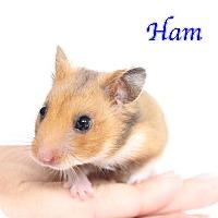 Adopt A Pet :: Ham - Bradenton, FL
