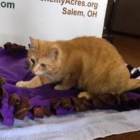 Bengal/Domestic Shorthair Mix Cat for adoption in Salem, Ohio - Chessie