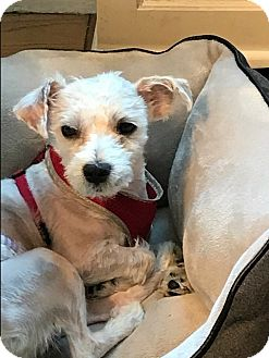 Maltese/Poodle (Miniature) Mix Dog for adoption in Long Beach, New York - Monty