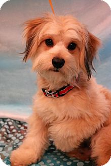Lhasa Apso/Maltese Mix Dog for adoption in Southington, Connecticut - Fletch