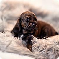 Adopt A Pet :: Cletus - Plainfield, IL