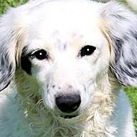 Adopt A Pet :: BELLE(ENGLISH SETTER PETITE! - Wakefield, RI