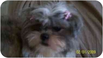 Shih Tzu Dog for adoption in Foster, Rhode Island - Lacey