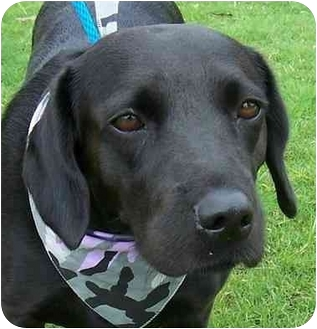 Spaniel (Unknown Type)/Labrador Retriever Mix Dog for adoption in Olive Branch, Mississippi - Dupree