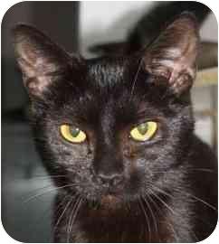 Domestic Shorthair Cat for adoption in Walker, Michigan - Sandi