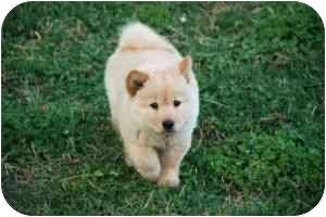 Chow Chow Mix Puppy for adoption in Greensboro, Georgia - Tiki