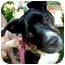 Photo 1 - Labrador Retriever/American Staffordshire Terrier Mix Dog for adoption in Pawling, New York - HOPE