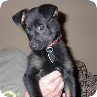 Chihuahua/Miniature Pinscher Mix Puppy for adoption in Metairie, Louisiana - Reggie Bush