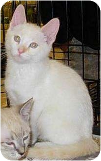 Domestic Shorthair Kitten for adoption in Lucerne Valley, California - Snow Ball