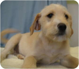 Schnauzer (Miniature)/Airedale Terrier Mix Puppy for adoption in Barron, Wisconsin - Dawson