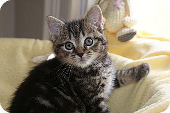 Domestic Shorthair Kitten for adoption in Berlin, Connecticut - Daliha