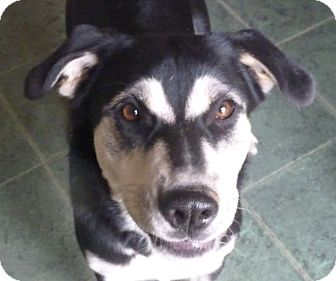 Husky/Hound (Unknown Type) Mix Dog for adoption in Cranford, New Jersey - Sissy