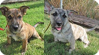 Schnauzer (Miniature)/Terrier (Unknown Type, Small) Mix Puppy for adoption in Alamogordo, New Mexico - Mary $ Kate Olsen