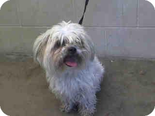 Lhasa Apso/Shih Tzu Mix Dog for adoption in Anaheim, California - Sprout