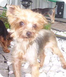 Yorkie, Yorkshire Terrier Dog for adoption in CAPE CORAL, Florida - Annie