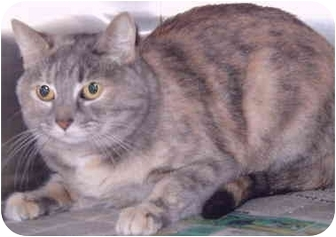Calico Cat for adoption in Grass Valley, California - Vanessa