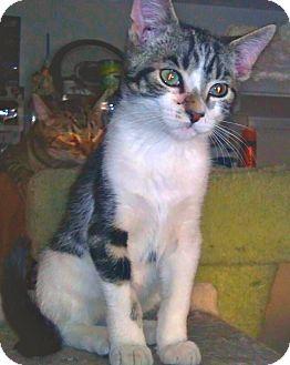 Domestic Shorthair Kitten for adoption in Phoenix, Arizona - Yuengling