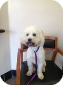 Poodle (Miniature)/Poodle (Standard) Mix Dog for adoption in Pasadena, California - GARTH